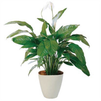Spathiphyllum in pot